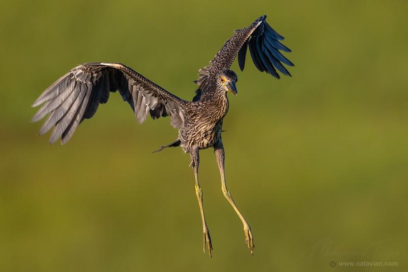 Yellow-crowned Night-Heron (immature)