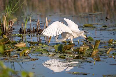 Hunting Egret.