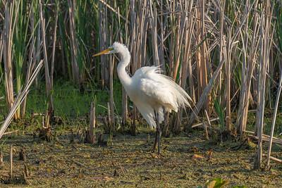 Great Egret in breading plumage.