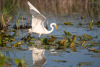 Great Egret with a catch.