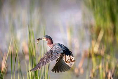 Green Heron.  Horicon National Wildlife Refuge. Wisconsin.