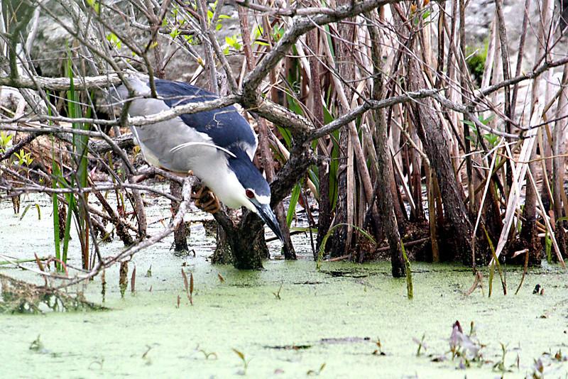 Black Crowned Night Heron @ Magee Marsh Wildlife Area - May 2009