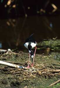 Black-necked Stilt-101