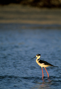 Black-necked Stilt-109