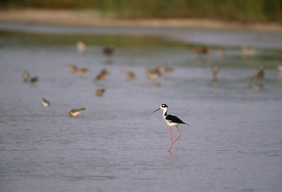 Black-necked Stilt-105