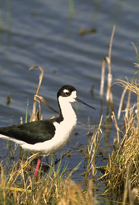 Black-necked Stilt-103