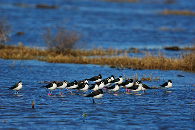 Black-necked Stilt-118