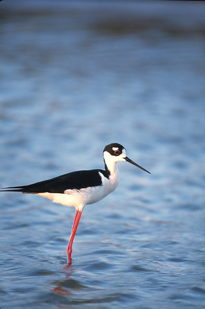 Black-necked Stilt-111