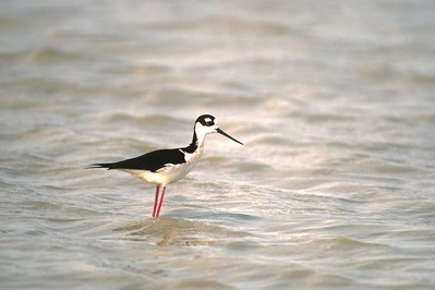 Black-necked Stilt-112