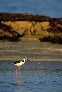 Black-necked Stilt-108