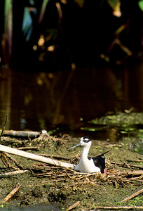 Black-necked Stilt-102