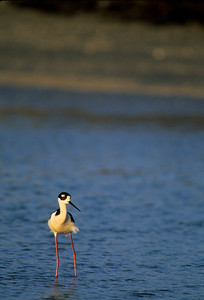 Black-necked Stilt-107
