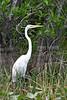 Great Egret @ Florida Everglades - April 2007