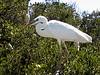 Great Egret @ Florida Keys - April 2007
