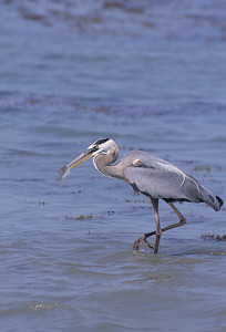 Great Blue Heron-165