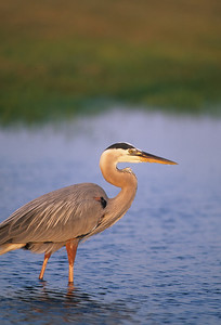 Great Blue Heron-152