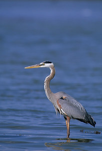 Great Blue Heron-163
