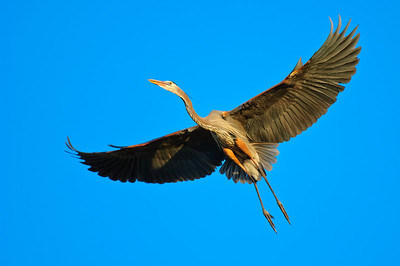 Great Blue Heron-232
