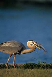 Great Blue Heron-145