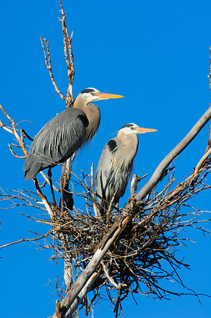Great Blue Heron-636