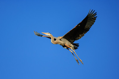 Great Blue Heron-206
