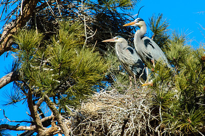 Great Blue Heron-291