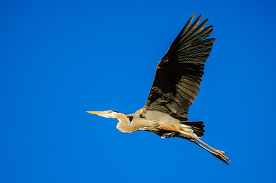 Great Blue Heron-201