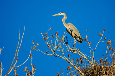 Great Blue Heron-209