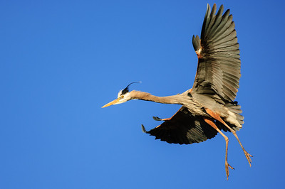 Great Blue Heron-220