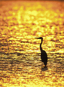 Great Blue Heron & Sunset