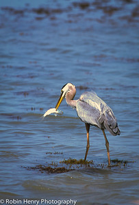 Great Blue Heron-107