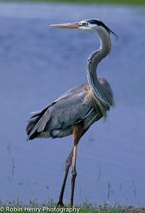Great Blue Heron-103
