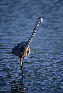 Great Blue Heron-159