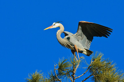Great Blue Heron-332