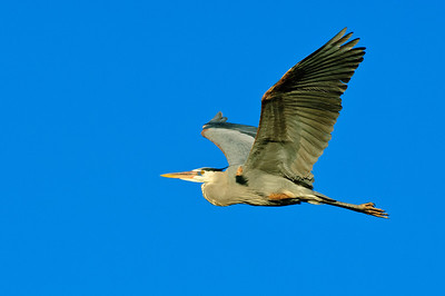 Great Blue Heron-399