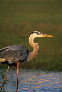 Great Blue Heron-151