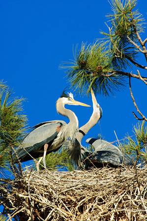 Great Blue Heron-610