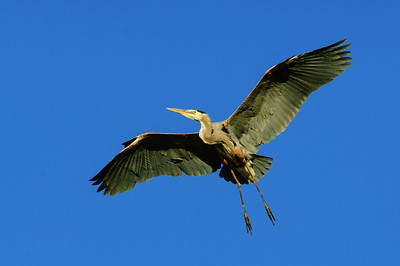 Great Blue Heron-435