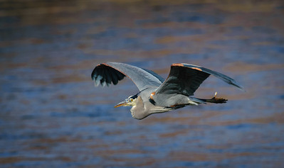 Great Blue Heron-454