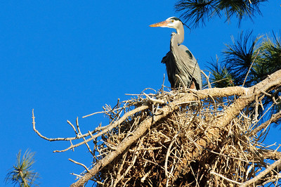 Great Blue Heron-353