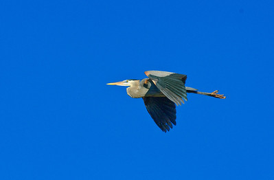 Great Blue Heron-334