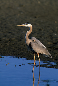 Great Blue Heron-156