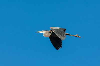 Great Blue Heron-333