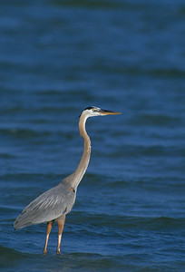 Great Blue Heron-153