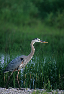 Great Blue Heron-155