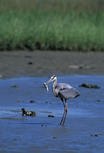 Great Blue Heron-157