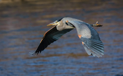 Great Blue Heron-457