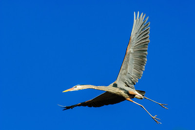 Great Blue Heron-371