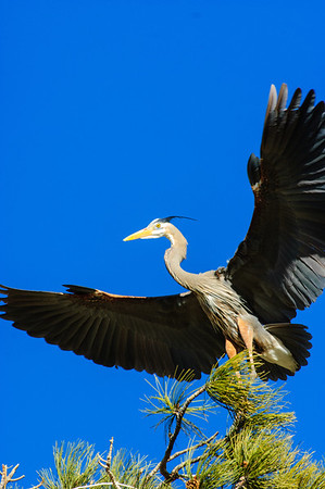 Great Blue Heron-477
