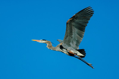 Great Blue Heron-308